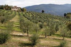 оливки Тоскана Стоковые Фото