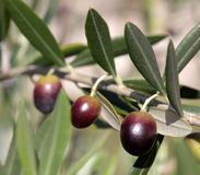 оливки 3 Стоковые Фотографии RF