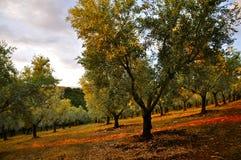 Оливковая роща на заходе солнца; Калабрия Стоковые Изображения RF
