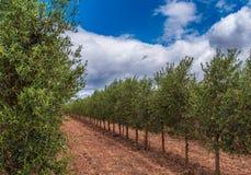 Оливковая роща на переднем плане и предпосылка облаков стоковое фото rf