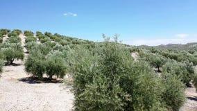 Оливковая роща рядом с Baena видеоматериал