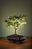 оливковое дерево бонзаев Стоковая Фотография