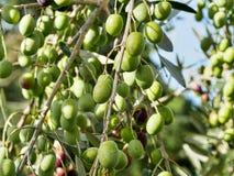 оливковое дерево ветви Стоковая Фотография RF