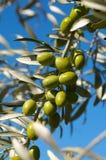 оливковое дерево ветви Стоковая Фотография