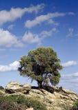 Оливковое дерево в греческих островах стоковые фотографии rf