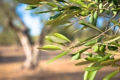 Оливковое дерево в южной Италии Стоковое Фото