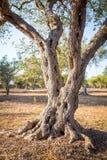 Оливковое дерево в южной Италии Стоковые Фотографии RF