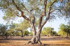 Оливковое дерево в южной Италии Стоковое фото RF
