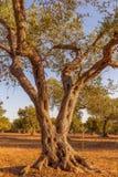 Оливковое дерево в южной Италии Стоковая Фотография RF