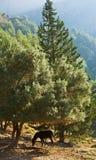 оливковое дерево лошади вниз Стоковая Фотография RF