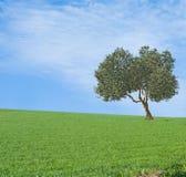 оливковое дерево поля Стоковые Изображения