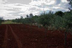 оливковое дерево поля Стоковая Фотография