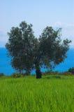 оливковое дерево поля стоковое изображение