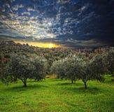 оливковое дерево предпосылки Стоковое Изображение RF