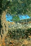оливковое дерево Стоковое Изображение