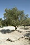 оливковое дерево Стоковое Изображение RF