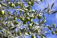 оливковое дерево Стоковое Фото