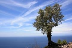 оливковое дерево Стоковые Изображения RF