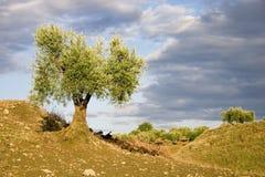оливковое дерево ii Стоковые Фото