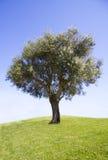 оливковое дерево Стоковые Изображения