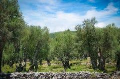 Оливковое дерево Стоковая Фотография RF