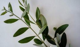 2 оливковой ветки стоковые изображения