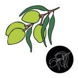 Оливковые ветки изолированные над белой предпосылкой, листья, оливки, иллюстрация руки вектора вычерченная стоковые фотографии rf