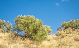 Оливковые дерева в горах Стоковое фото RF