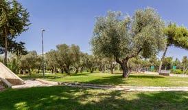 Оливковые дерева в парке, Иерусалиме Стоковые Изображения RF