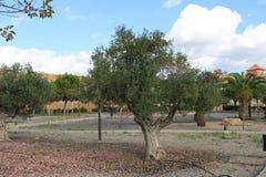 Оливковые дерева в рекреационном парке стоковое фото rf
