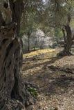 Оливковые дерева в роще стоковое изображение