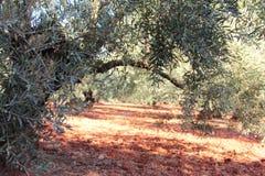 Оливковые дерева в саде Стоковое Фото
