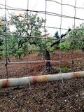 Оливковые дерева для превосходной продукции calabrese дополнительного девственного оливкового масла стоковое изображение