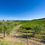 Оливковые дерева и виноградники в Италии Стоковое Изображение