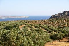 оливковые дерева Крита Стоковые Изображения RF