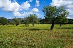 Оливковые дерева на луге в Майорке Испании Стоковое фото RF