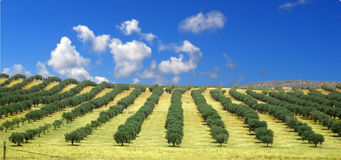оливковые дерева поля Стоковая Фотография