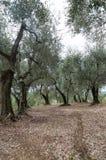 оливковые дерева Тоскана Стоковая Фотография RF