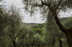 оливковые дерева Тоскана Стоковые Фото