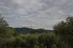 оливковые дерева Тоскана Стоковое Изображение RF