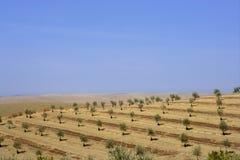 оливковые дерева холма поля страны молодые Стоковое фото RF