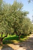 оливковые дерева Стоковые Фотографии RF