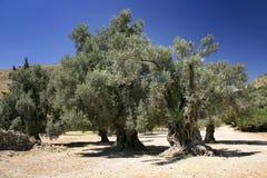 оливковые дерева Стоковые Изображения