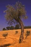 оливковые дерева Стоковое Изображение