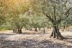 оливковые дерева krk острова рощи Хорватии Франция Провансаль стоковое изображение rf