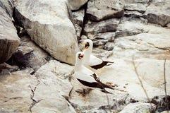олух замаскированный galapagos Стоковое Изображение RF