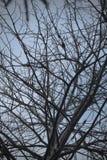 Ольшаник с грязными ветвями к небу Стоковые Изображения RF