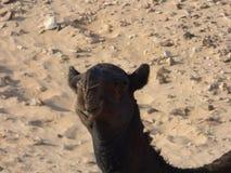 Оман, Salalah, встречая черного верблюда в пустыне Стоковые Изображения