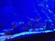 Омар в аквариуме стоковая фотография rf