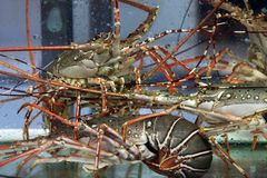 Омар в аквариуме Стоковое фото RF